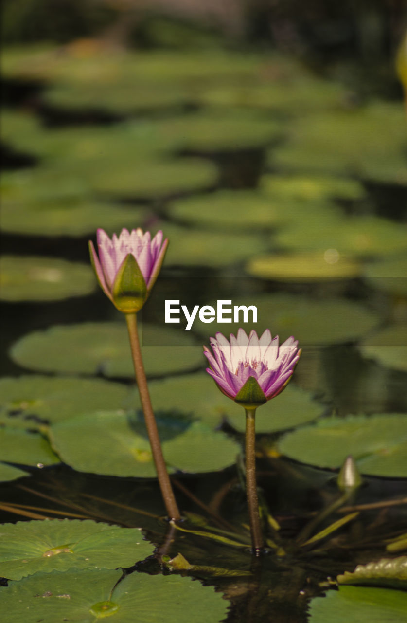 flower, plant, flowering plant, water lily, beauty in nature, freshness, leaf, growth, fragility, vulnerability, pond, plant part, close-up, petal, flower head, inflorescence, lotus water lily, pink color, nature, floating on water, no people, outdoors