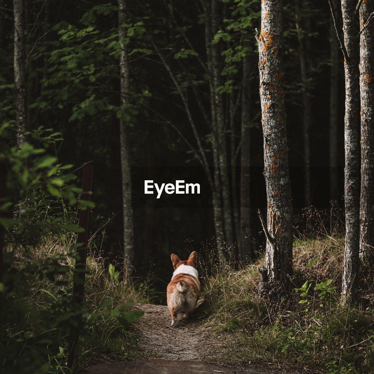 Corgi in a forest