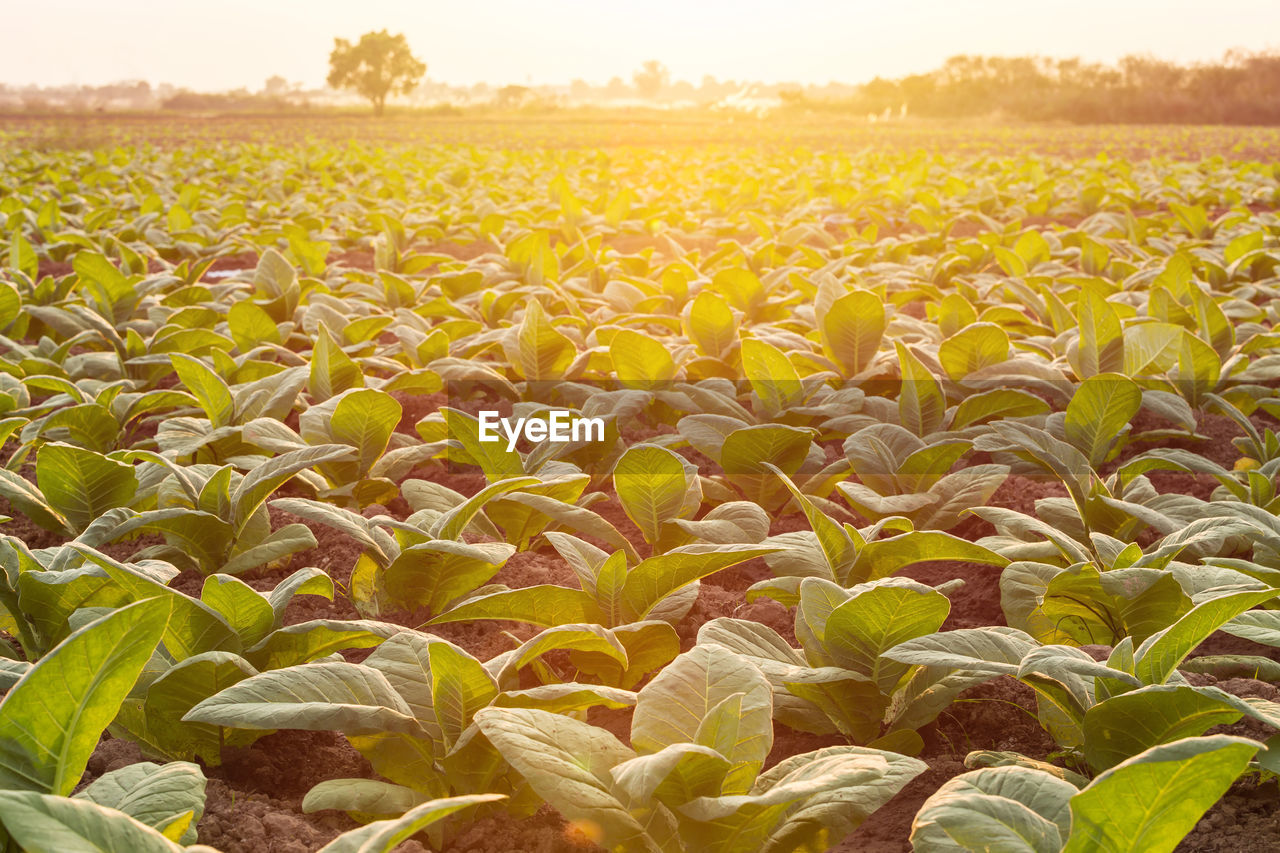 growth, plant, field, beauty in nature, land, nature, landscape, agriculture, rural scene, tranquility, no people, farm, plant part, scenics - nature, leaf, environment, crop, day, tranquil scene, sky, outdoors, plantation
