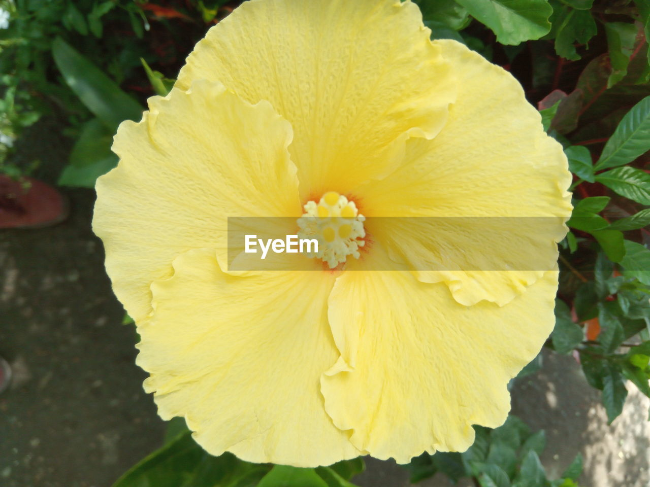 flower, petal, fragility, yellow, flower head, beauty in nature, freshness, nature, growth, outdoors, close-up, day, plant, blooming, no people, stamen, hibiscus