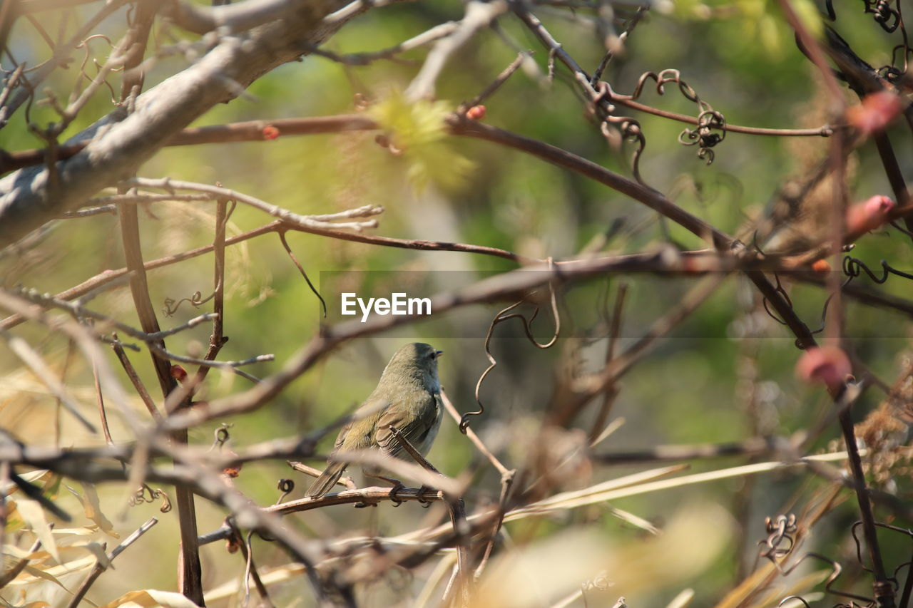 vertebrate, animal wildlife, animal themes, bird, animal, animals in the wild, perching, one animal, plant, tree, branch, day, no people, nature, selective focus, focus on foreground, outdoors, growth, sparrow, songbird, small