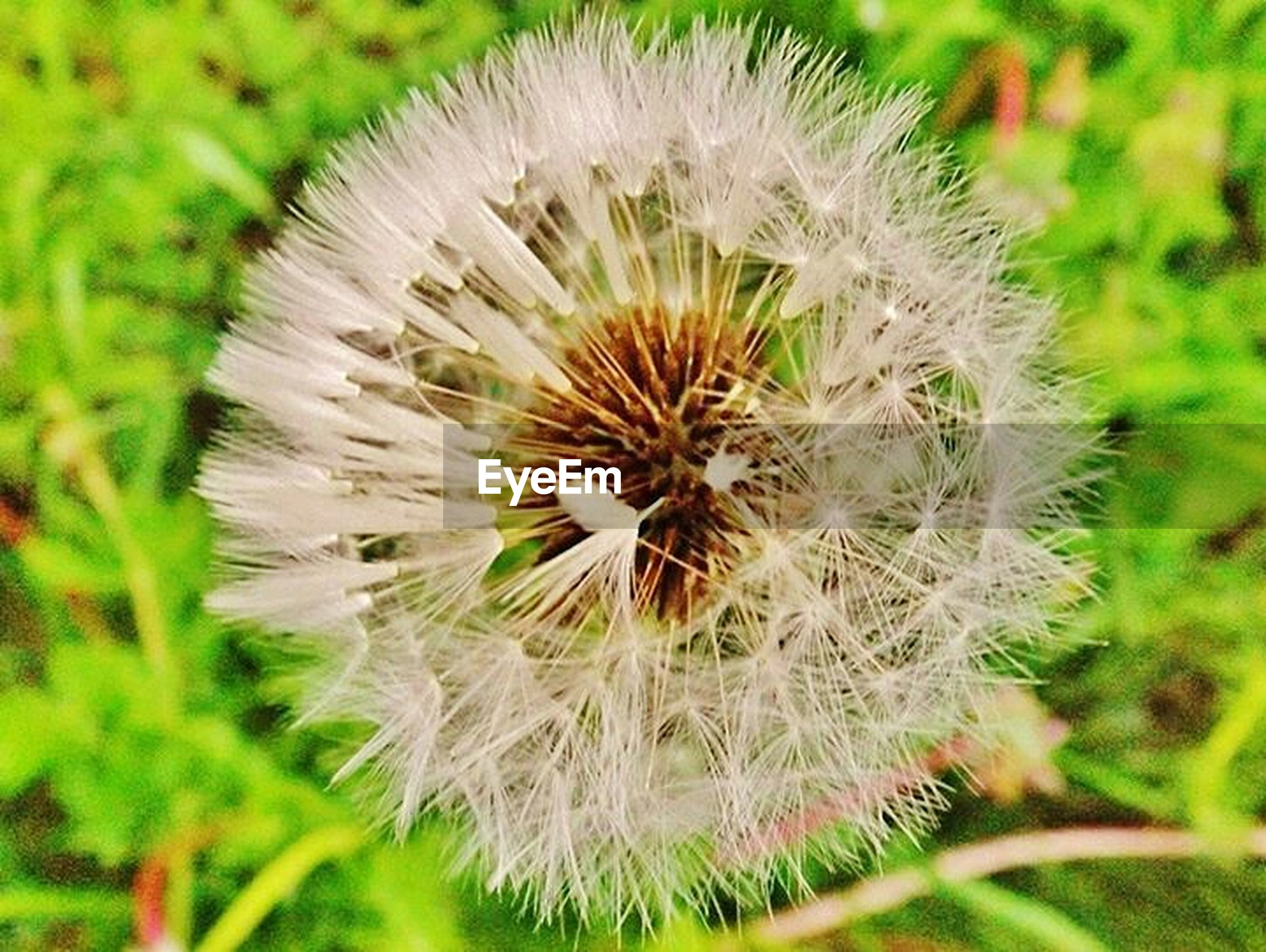 dandelion, flower, growth, fragility, freshness, close-up, flower head, single flower, beauty in nature, focus on foreground, nature, softness, uncultivated, white color, dandelion seed, plant, wildflower, seed, selective focus, day