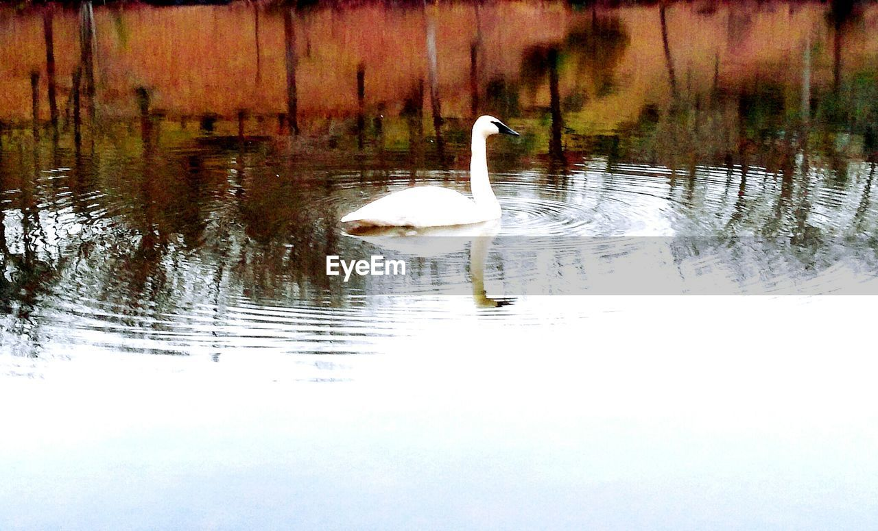 Side View Of Swan With Reflection In Calm Water