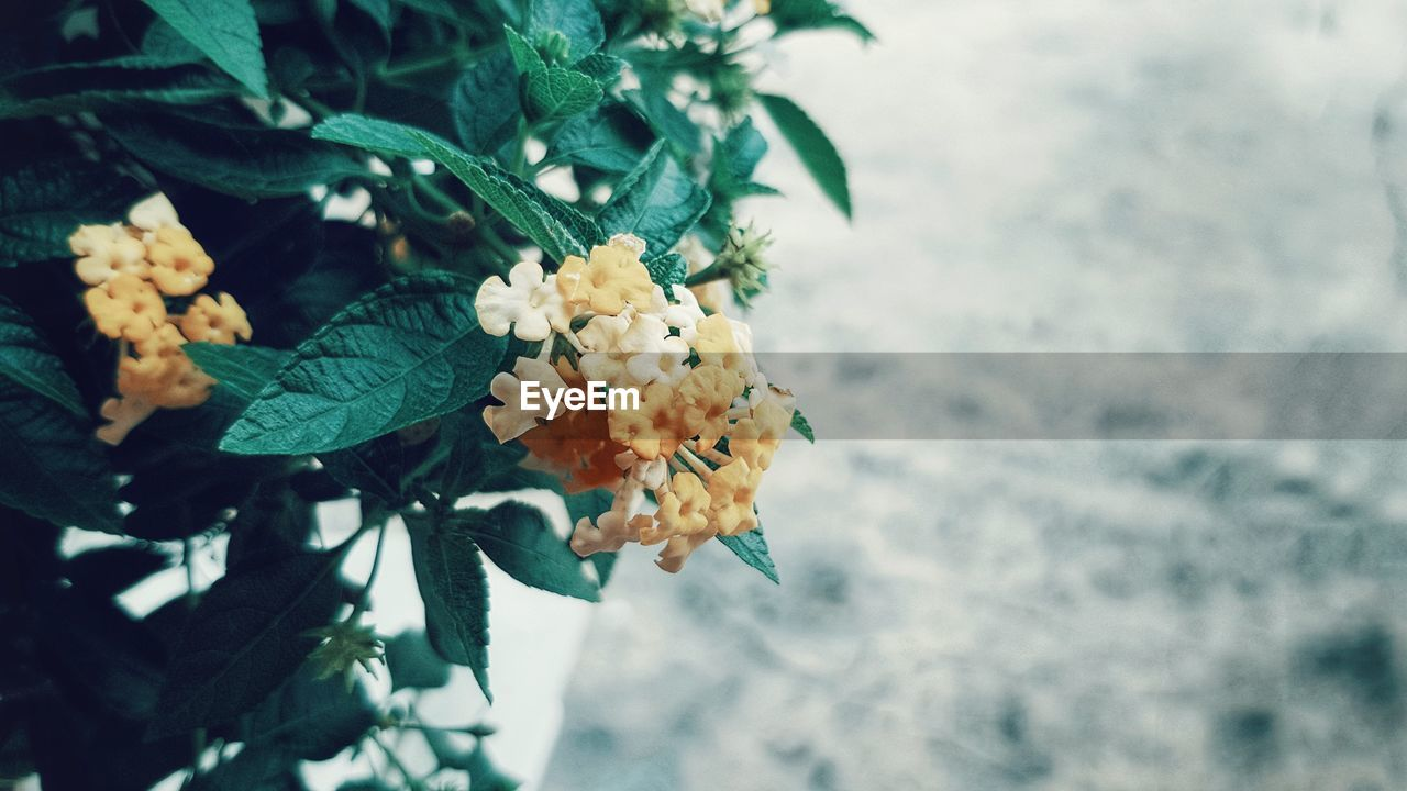 plant, flowering plant, flower, vulnerability, fragility, beauty in nature, freshness, growth, focus on foreground, close-up, petal, nature, flower head, leaf, plant part, day, inflorescence, no people, outdoors, selective focus, lantana, bunch of flowers
