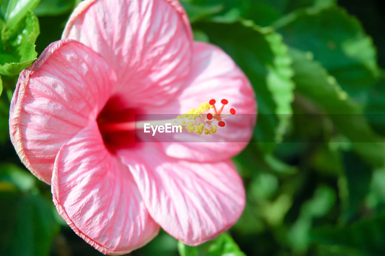flower, flowering plant, fragility, freshness, vulnerability, petal, beauty in nature, plant, inflorescence, flower head, growth, close-up, pink color, pollen, day, focus on foreground, nature, hibiscus, no people, outdoors
