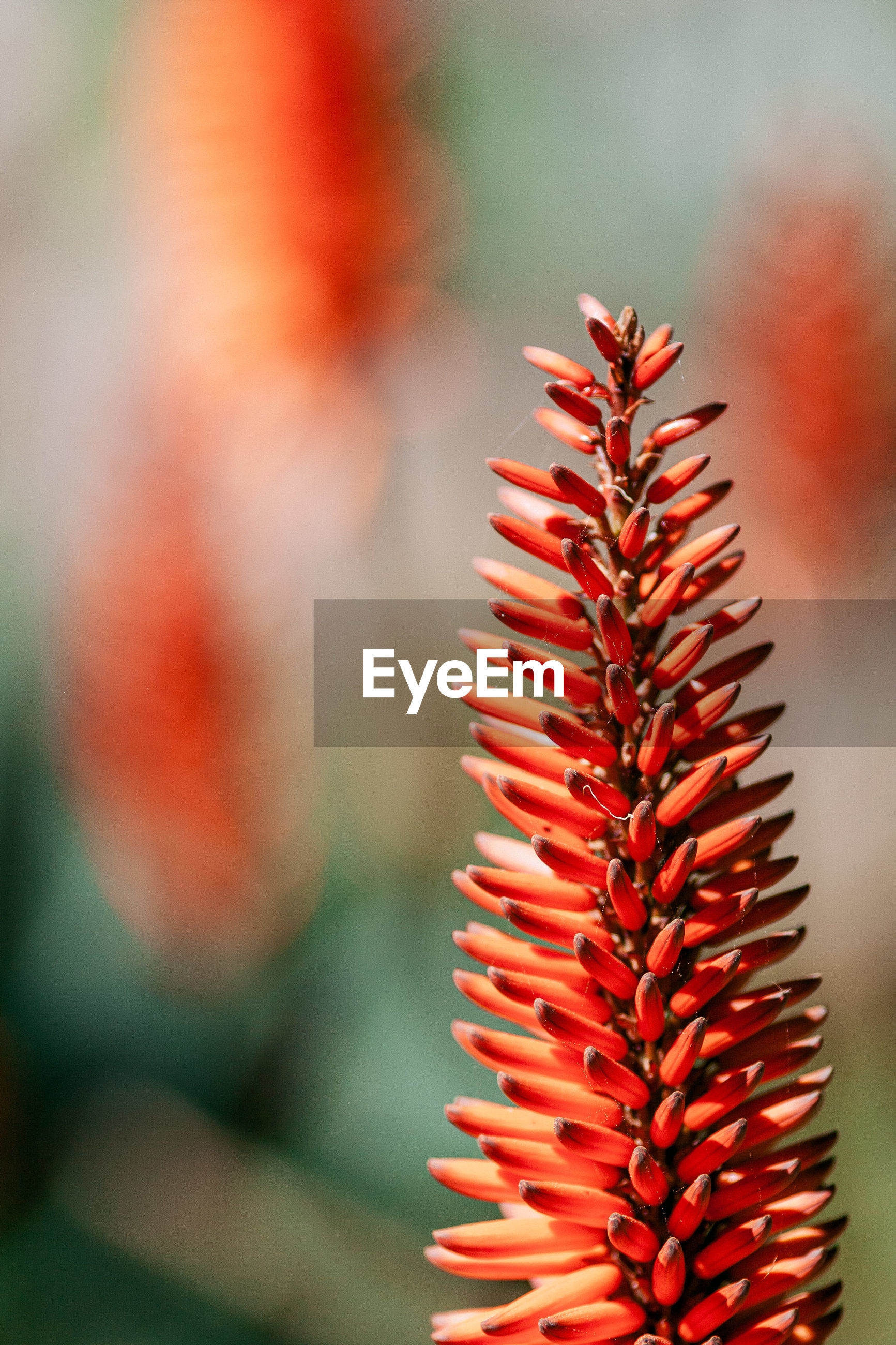 CLOSE-UP OF RED SUCCULENT PLANT IN SUNLIGHT