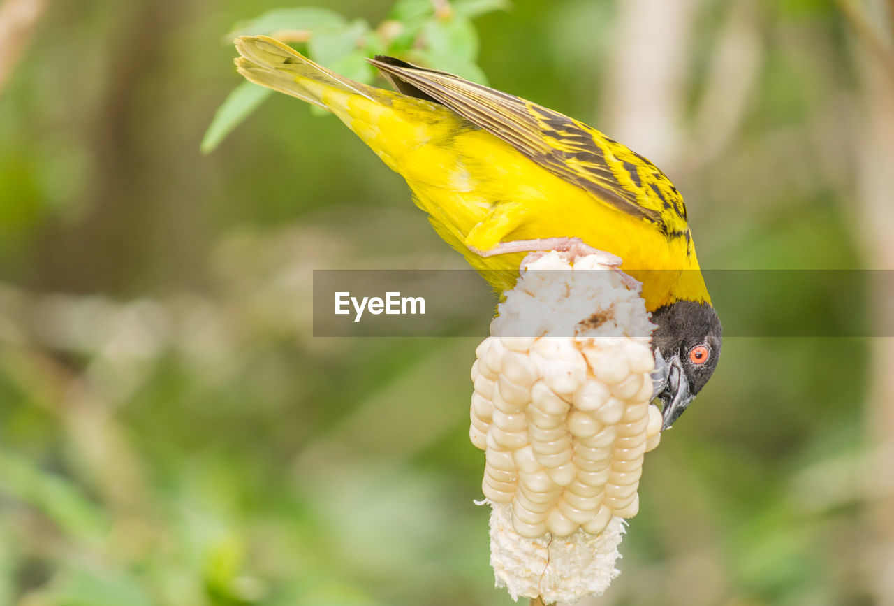 CLOSE-UP OF PARROT PERCHING ON YELLOW LEAF