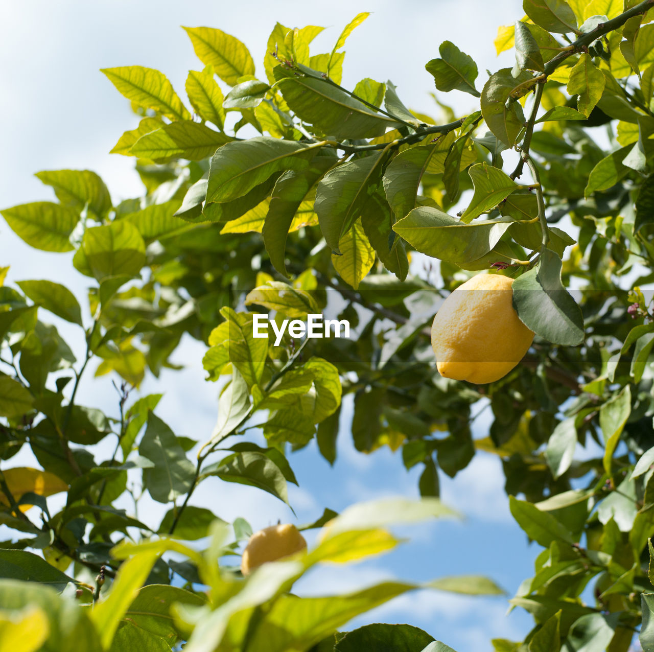 Low angle view of lemons growing on tree
