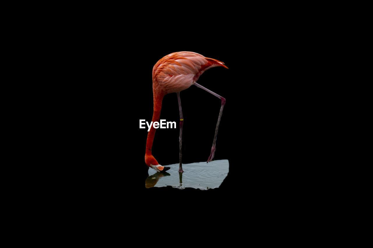 Close-up of flamingo bird over black background