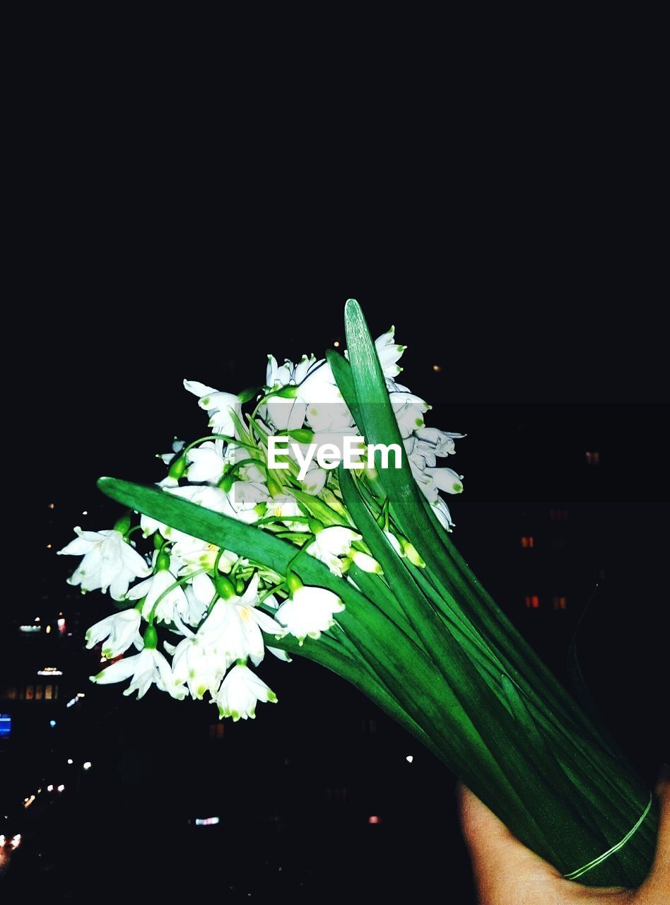 black background, studio shot, green color, freshness, growth, leaf, close-up, no people, food, nature, night, flower, fragility