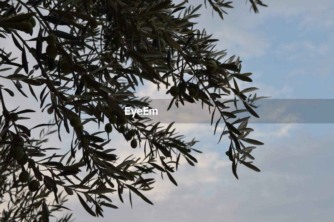 sky, no people, nature, low angle view, beauty in nature, cloud - sky, plant, tree, growth, tranquility, branch, day, outdoors, leaf, plant part, focus on foreground, close-up, non-urban scene, tranquil scene, spiky