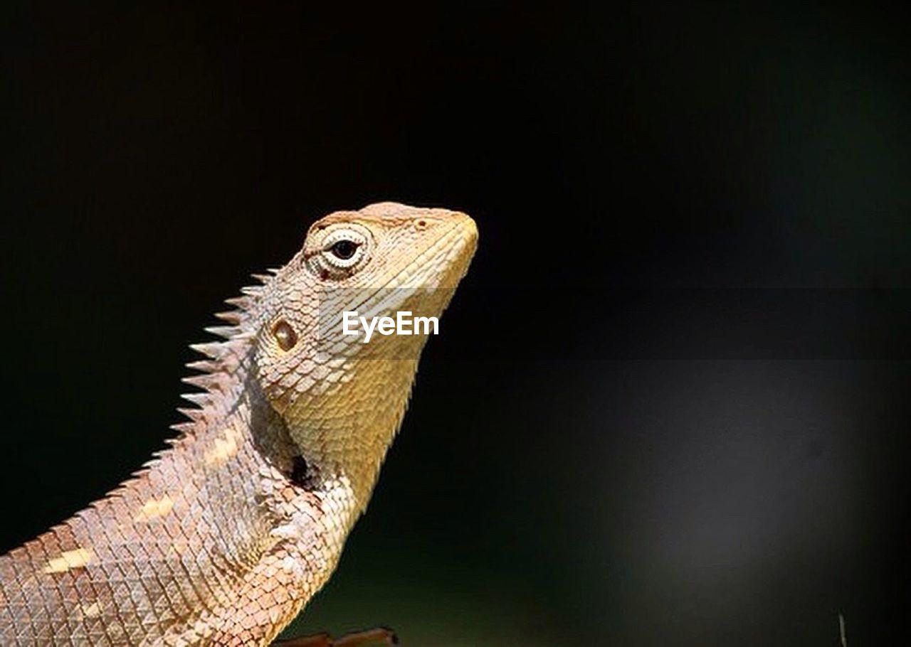 reptile, animal wildlife, lizard, one animal, iguana, animal, animals in the wild, profile view, no people, animal scale, close-up, night, nature, animal themes, black background, outdoors