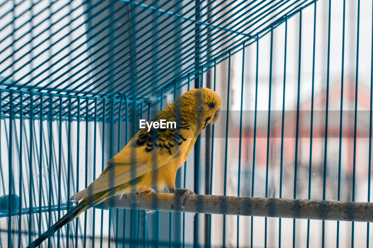 Close-up of yellow budgerigar in cage