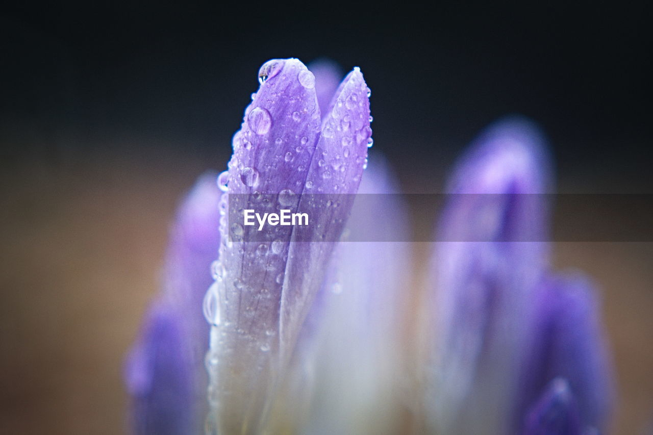 flowering plant, flower, purple, close-up, beauty in nature, freshness, vulnerability, fragility, petal, plant, wet, drop, selective focus, nature, inflorescence, water, flower head, growth, no people, iris, outdoors, dew, crocus, purity