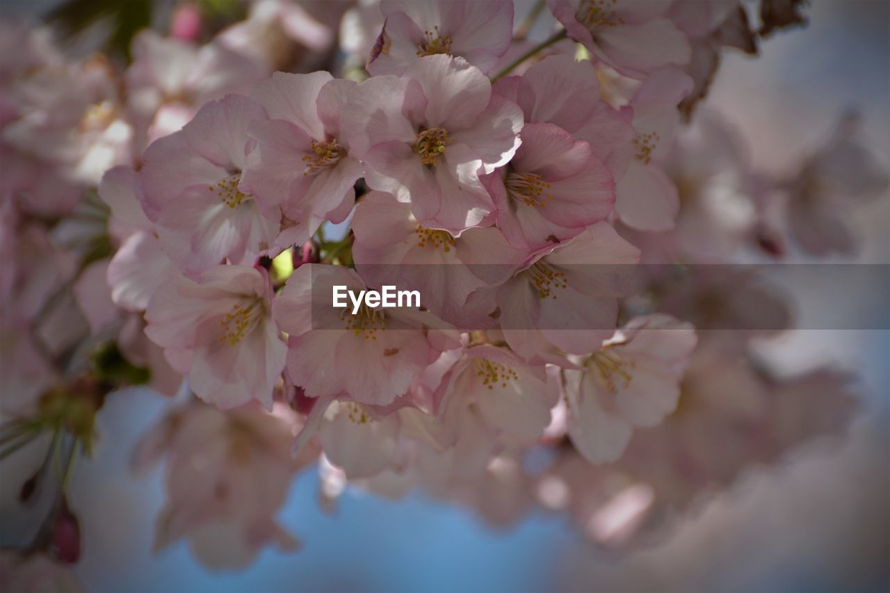 flower, flowering plant, plant, freshness, beauty in nature, fragility, vulnerability, growth, petal, close-up, pink color, pollen, nature, springtime, blossom, inflorescence, no people, flower head, day, tree, cherry blossom, outdoors, cherry tree, spring, bunch of flowers