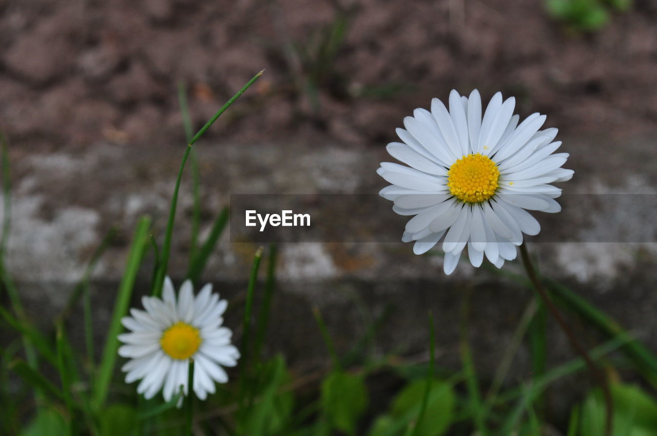 flower, white color, petal, flower head, fragility, nature, freshness, beauty in nature, daisy, pollen, growth, blooming, outdoors, no people, day, close-up, plant, stamen, springtime