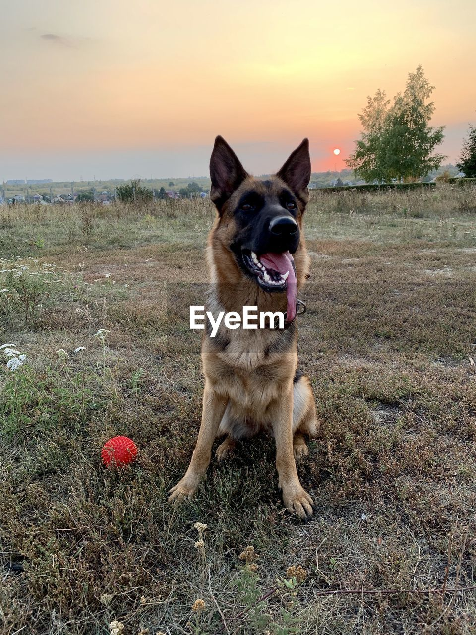 one animal, domestic, pets, domestic animals, dog, canine, mammal, animal themes, animal, vertebrate, land, plant, sky, sunset, field, nature, german shepherd, sticking out tongue, no people, facial expression, mouth open, panting