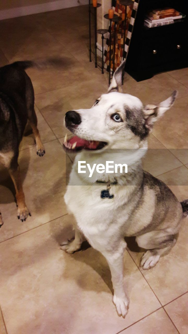 dog, domestic animals, pets, animal themes, mammal, indoors, one animal, high angle view, no people, full length, day, close-up