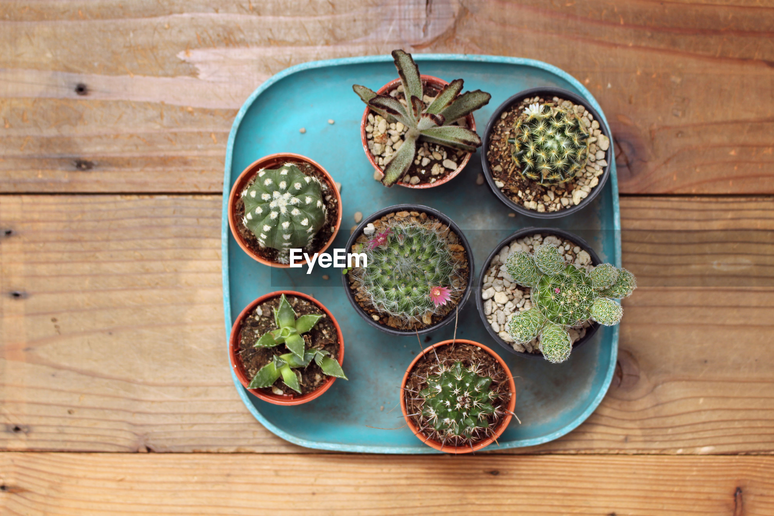 Directly above shot of cactus potted plants on table