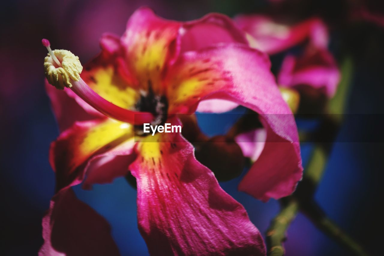 flowering plant, flower, vulnerability, fragility, petal, beauty in nature, plant, freshness, close-up, flower head, inflorescence, growth, focus on foreground, pollen, no people, nature, yellow, day, selective focus, pink color, iris - plant, purple