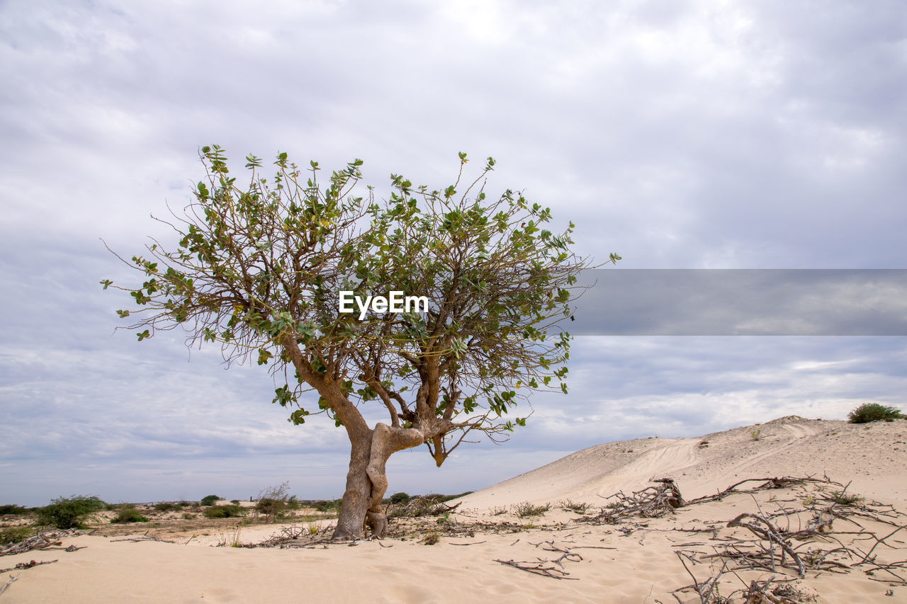 sky, cloud - sky, plant, beauty in nature, land, nature, growth, tree, tranquility, tranquil scene, sand, landscape, environment, scenics - nature, no people, desert, flower, day, non-urban scene, flowering plant, outdoors, arid climate, climate