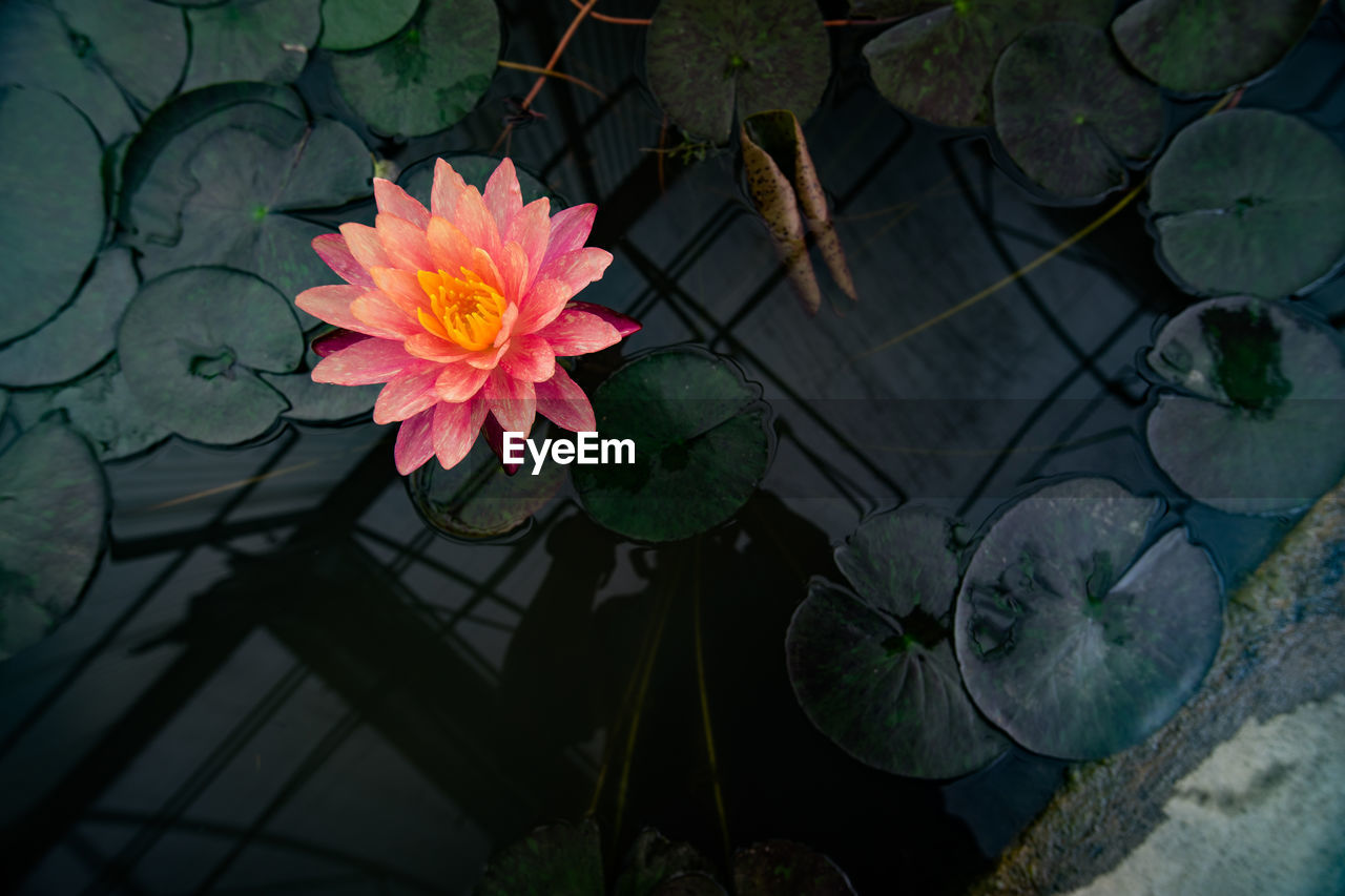flower, flowering plant, plant, leaf, vulnerability, fragility, beauty in nature, freshness, plant part, petal, growth, nature, inflorescence, flower head, water lily, close-up, no people, high angle view, pink color, lake, outdoors, floating on water, lotus water lily, flower pot