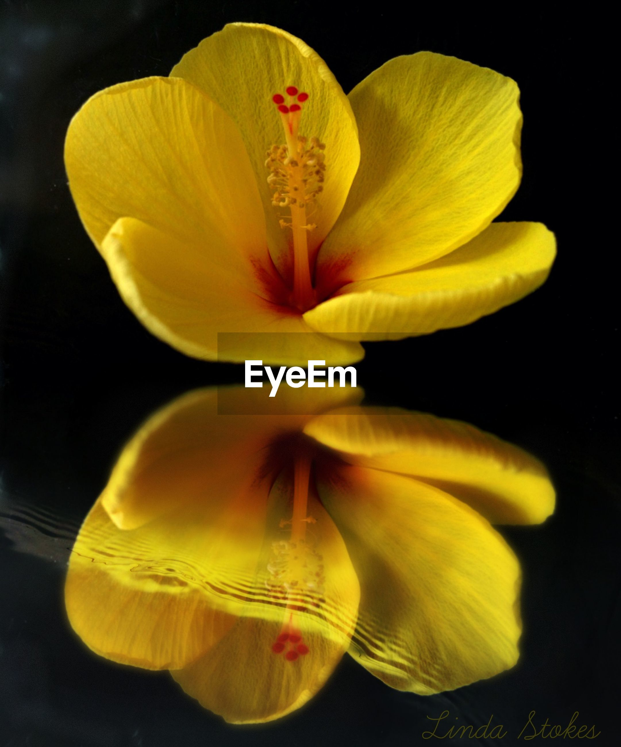 flower, petal, yellow, beauty in nature, flower head, fragility, studio shot, nature, black background, freshness, no people, growth, close-up, stamen, plant, blooming, outdoors, day