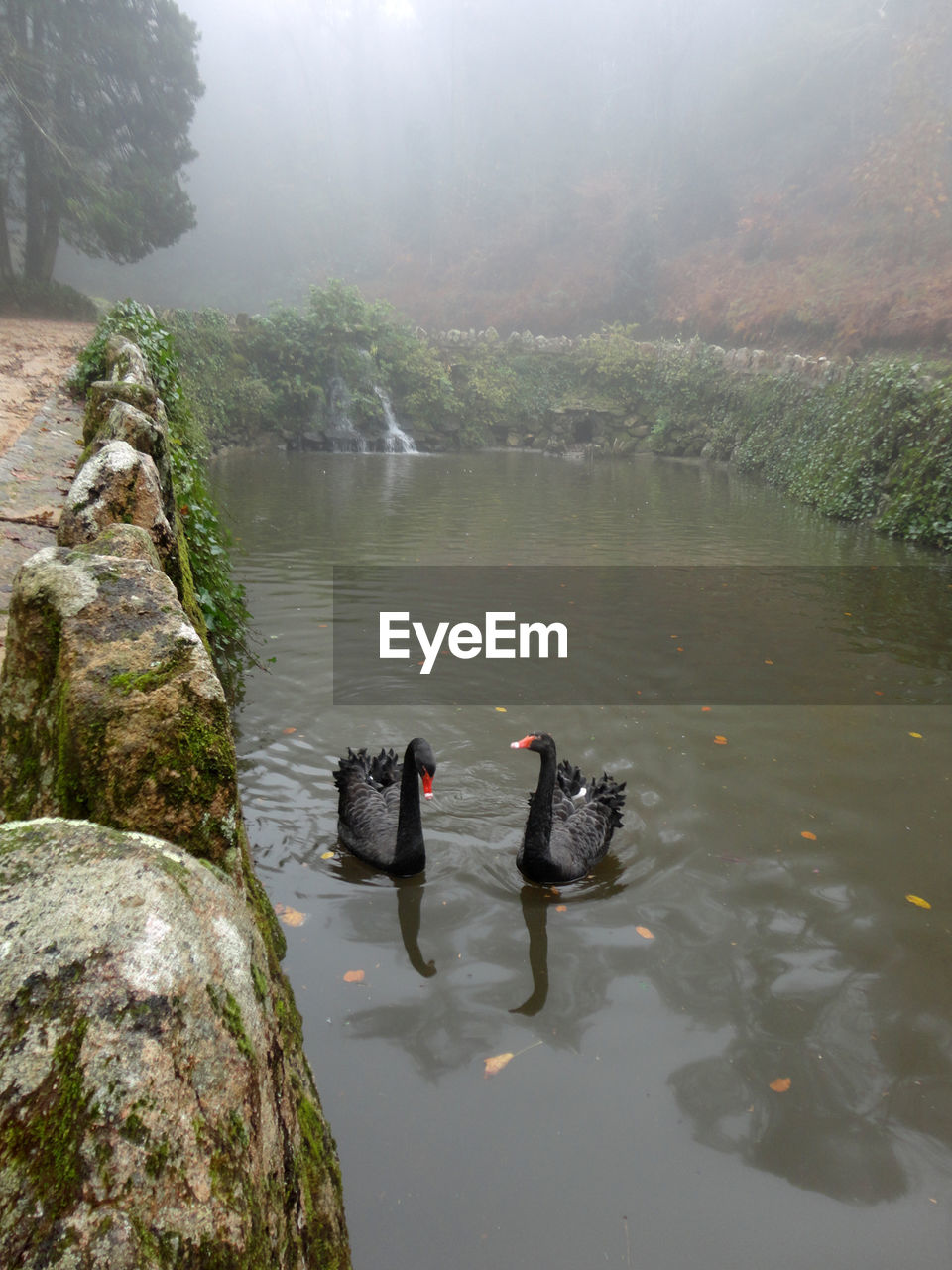 High Angle View Of Black Swans In Pond
