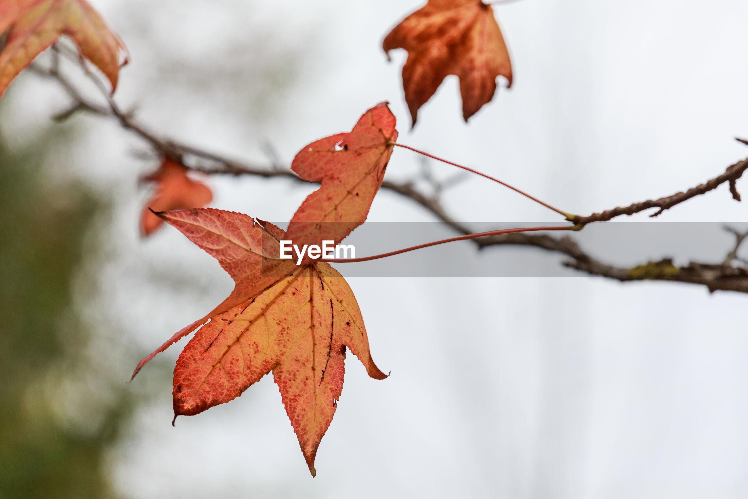 Close-up of orange maple leaves on tree
