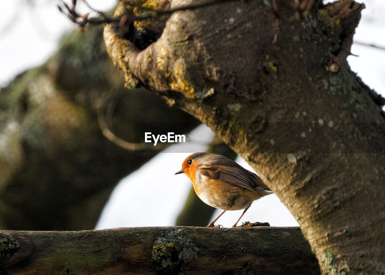 bird, animal themes, animal, tree, vertebrate, perching, animals in the wild, animal wildlife, one animal, focus on foreground, robin, branch, no people, day, plant, nature, tree trunk, close-up, trunk, outdoors