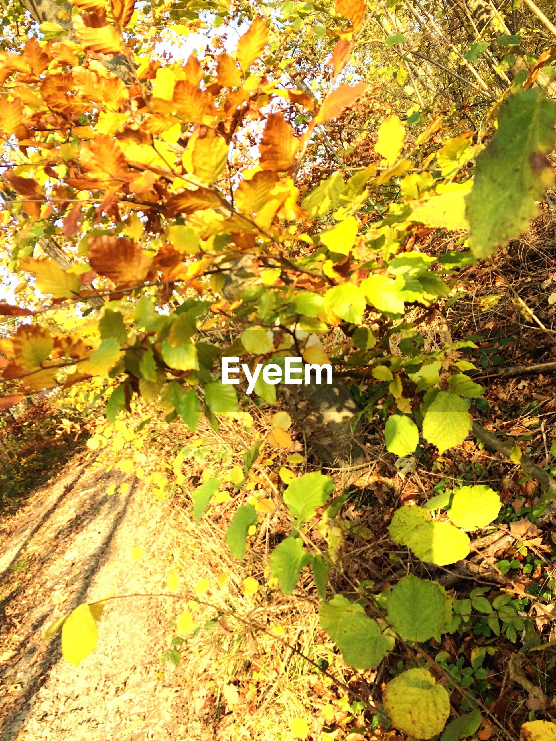 nature, leaf, growth, autumn, no people, plant, outdoors, yellow, tranquility, day, change, beauty in nature, close-up, tree, maple