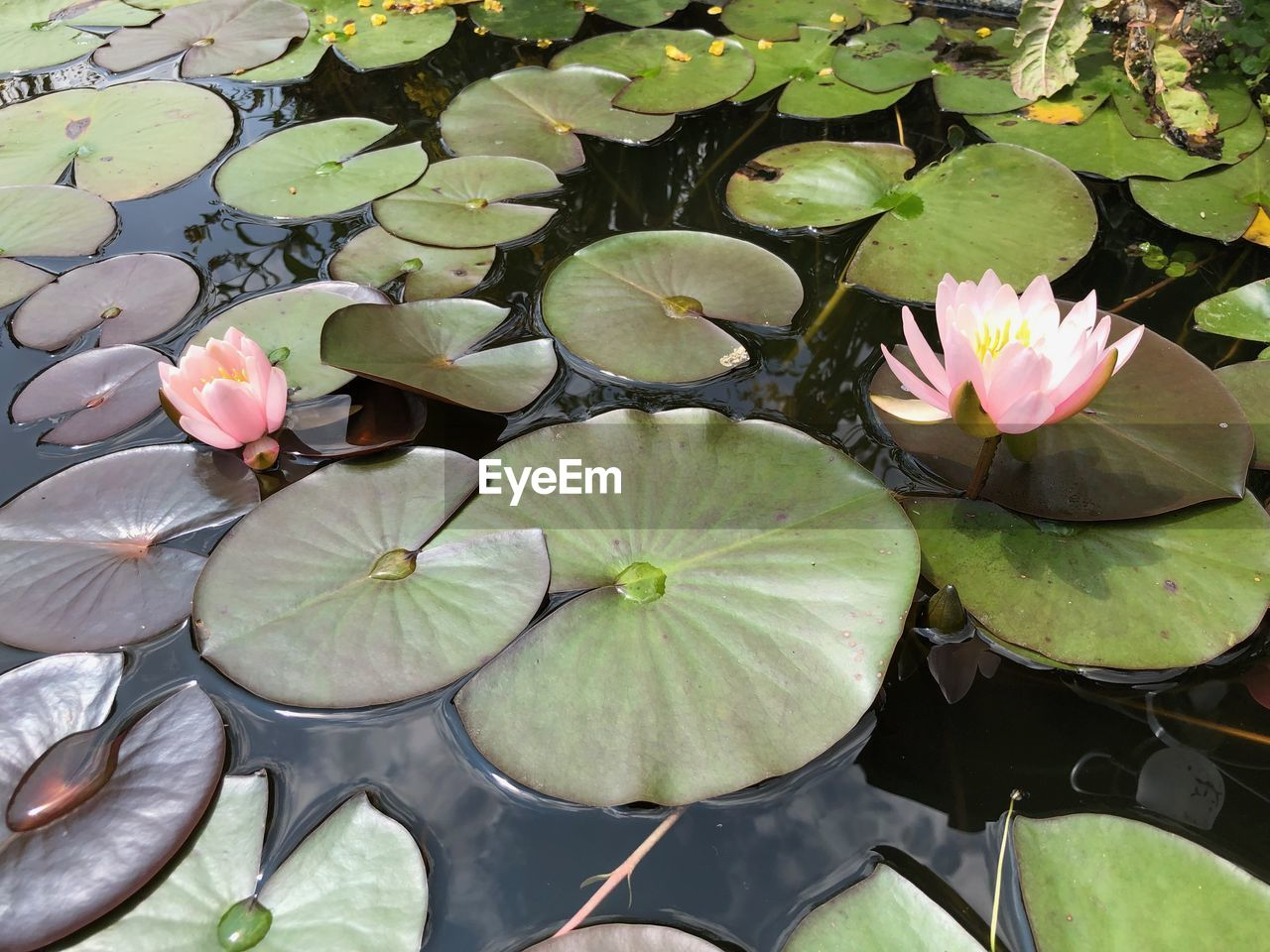 flower, plant, flowering plant, leaf, plant part, beauty in nature, water lily, growth, floating, nature, petal, freshness, floating on water, vulnerability, water, inflorescence, flower head, fragility, close-up, lake, no people, outdoors, lotus water lily, leaves