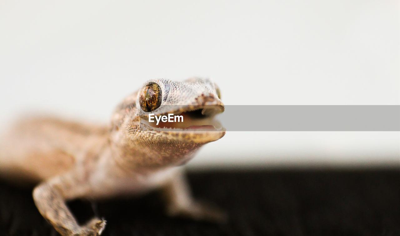 Macro Shot Of Gecko