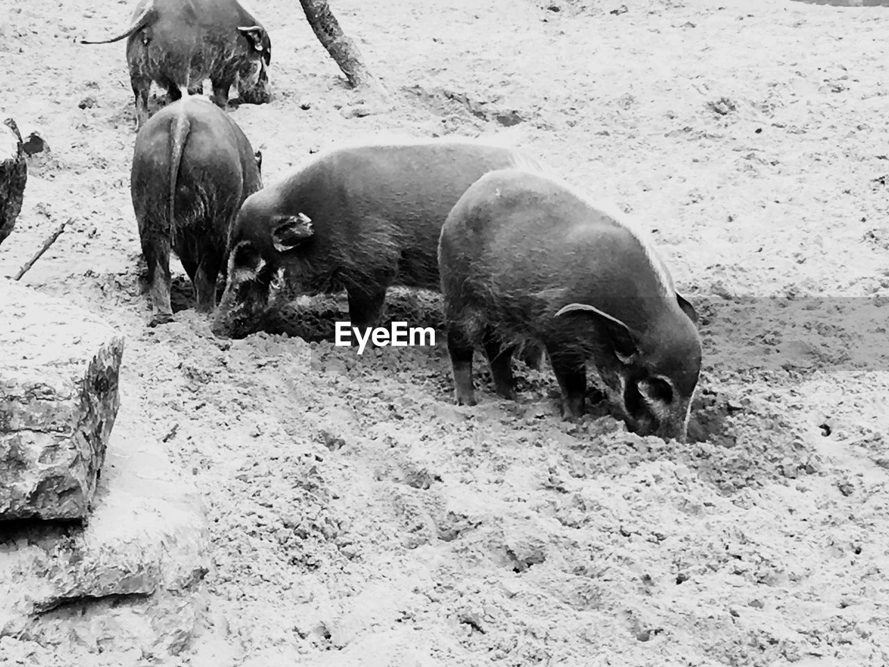 animal themes, animal, group of animals, mammal, vertebrate, animal wildlife, animals in the wild, pig, land, young animal, day, no people, nature, domestic animals, livestock, three animals, animal family, rock, field, outdoors, mud, herbivorous