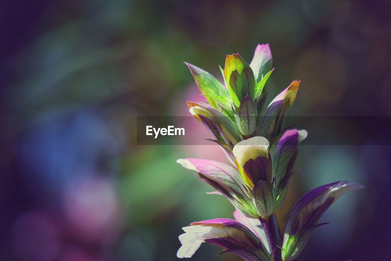 flower, flowering plant, beauty in nature, freshness, plant, close-up, vulnerability, fragility, petal, growth, focus on foreground, nature, no people, pink color, plant part, flower head, day, leaf, selective focus, inflorescence, purple, sepal
