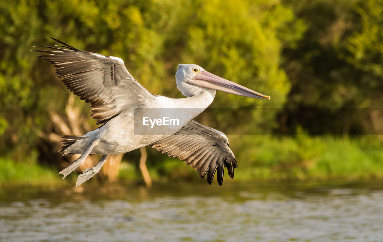 flying, animal themes, bird, animals in the wild, spread wings, animal, animal wildlife, vertebrate, one animal, water, mid-air, focus on foreground, nature, waterfront, lake, day, no people, heron, motion, beak, outdoors, flapping