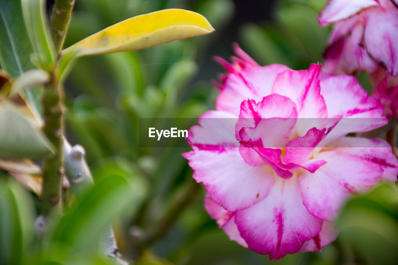 flower, flowering plant, plant, beauty in nature, petal, growth, freshness, vulnerability, fragility, close-up, pink color, flower head, inflorescence, nature, day, no people, focus on foreground, selective focus, plant part, leaf, outdoors, pollen