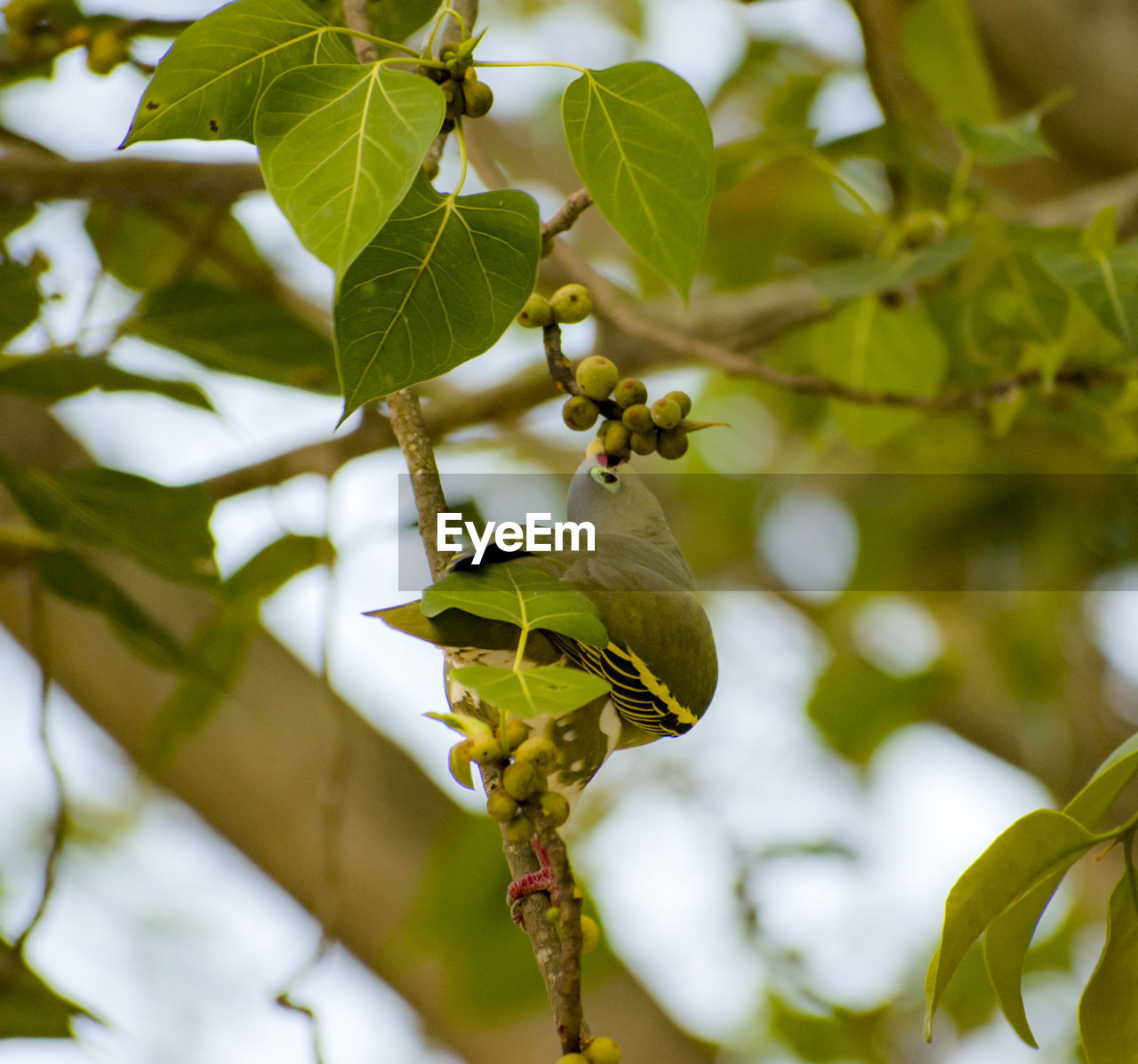 plant, growth, leaf, plant part, tree, green color, branch, focus on foreground, nature, beauty in nature, close-up, no people, food, day, fruit, food and drink, healthy eating, freshness, outdoors, low angle view