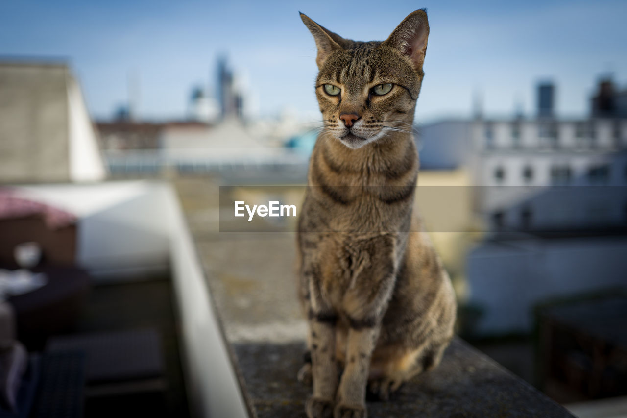 Tabby Cat Looking Away