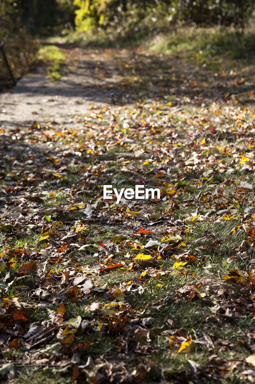 autumn, nature, leaf, outdoors, day, change, fallen, tranquility, no people, growth, the way forward, beauty in nature, tree, close-up, fragility, maple