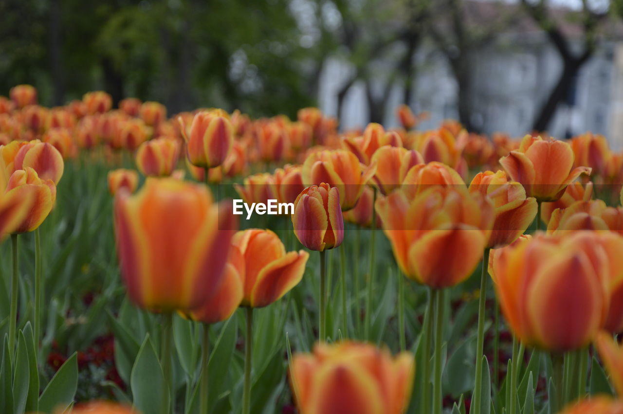 flower, growth, nature, beauty in nature, petal, plant, orange color, freshness, fragility, blooming, no people, outdoors, tulip, field, flower head, day, close-up