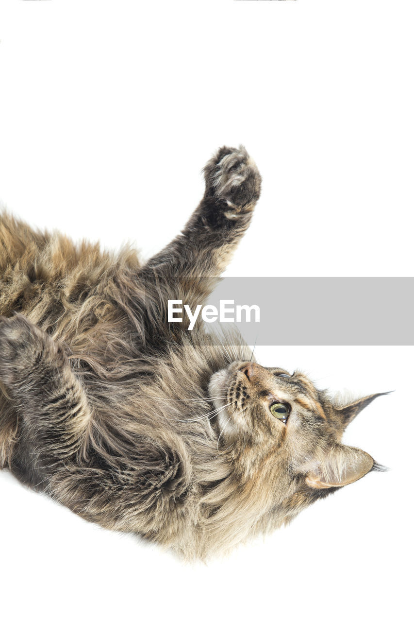 High angle view of maine coon cat relaxing against white background