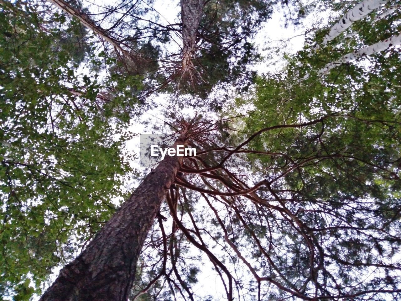 tree, plant, low angle view, tree trunk, growth, trunk, branch, nature, day, tranquility, beauty in nature, no people, forest, land, sky, outdoors, tall - high, tranquil scene, scenics - nature, tree canopy, bark, directly below, coniferous tree