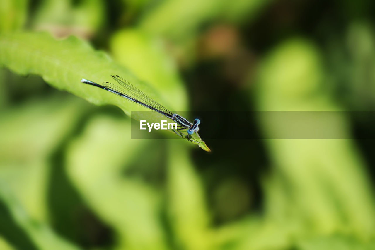 green color, insect, animals in the wild, animal themes, animal wildlife, one animal, animal, invertebrate, plant, close-up, nature, damselfly, plant part, focus on foreground, day, no people, leaf, growth, selective focus, beauty in nature, blade of grass