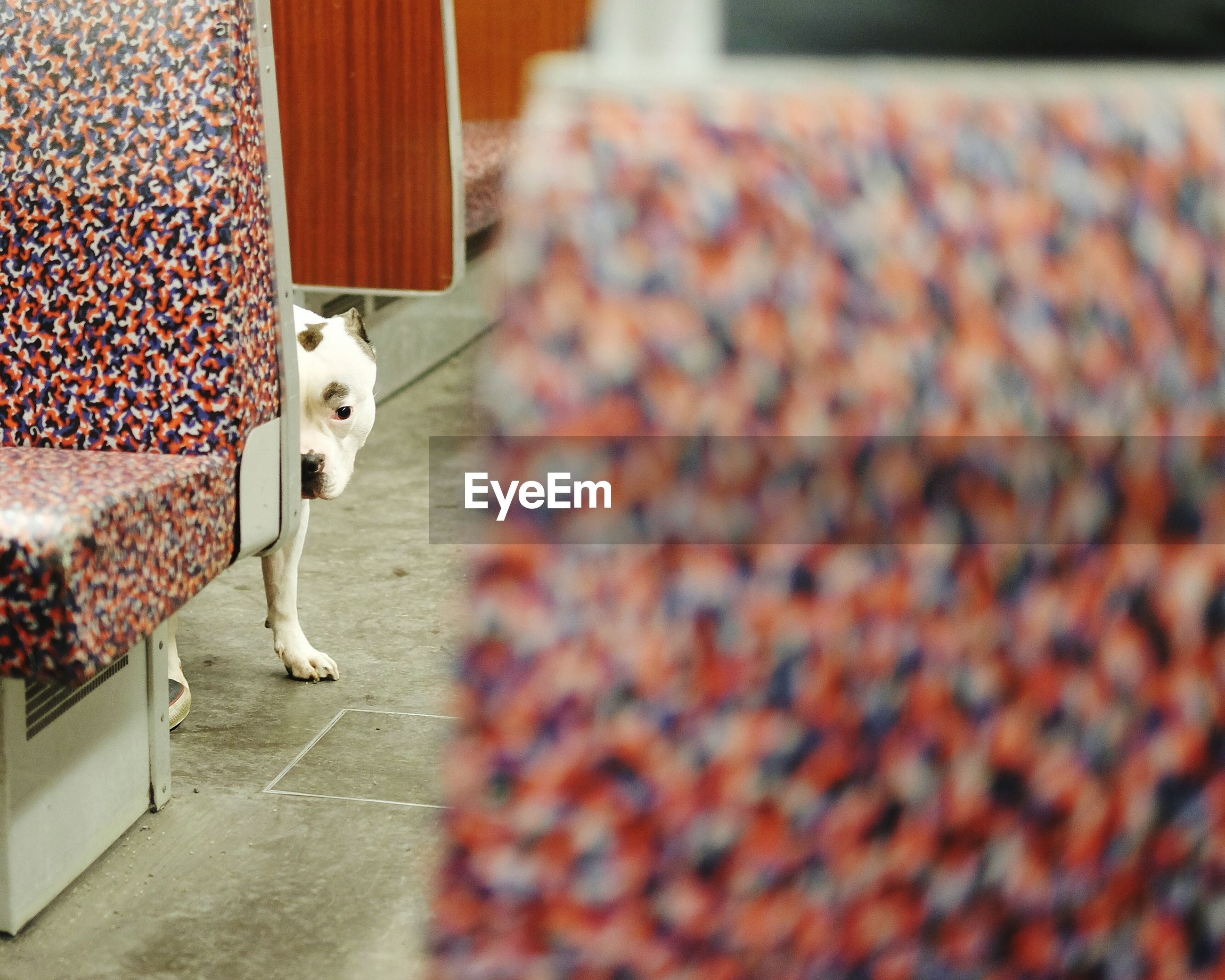 Pit bull terrier hiding behind seat at subway station