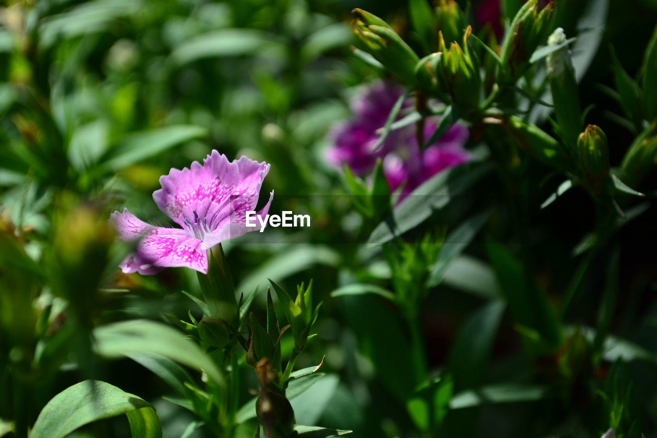 flower, fragility, nature, beauty in nature, petal, growth, freshness, plant, purple, pink color, selective focus, no people, flower head, outdoors, green color, day, leaf, blooming, close-up, petunia
