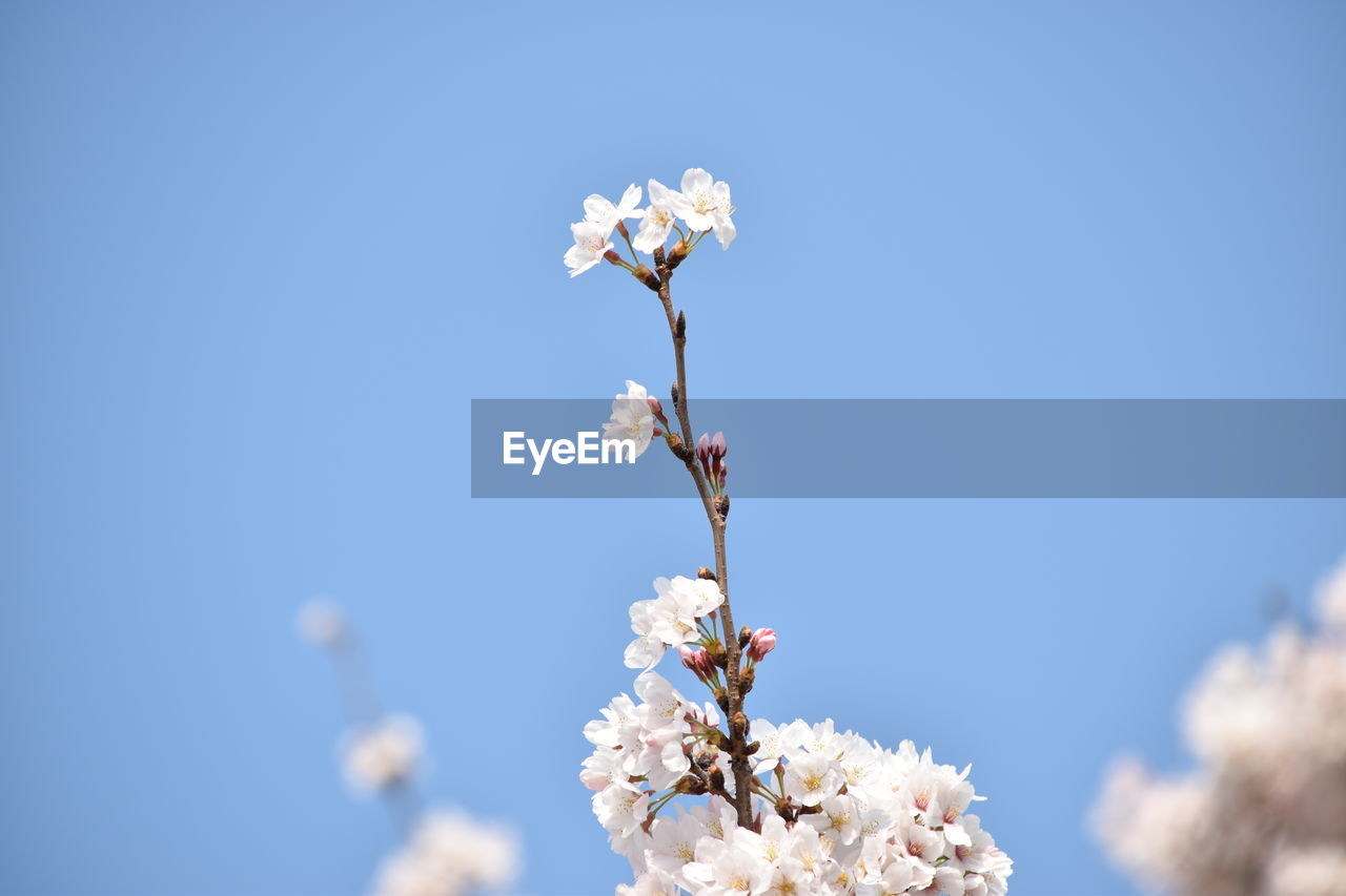 flower, fragility, beauty in nature, nature, freshness, blossom, growth, springtime, petal, white color, apple blossom, botany, flower head, twig, blooming, no people, branch, blue, day, tree, low angle view, close-up, plum blossom, outdoors, clear sky, plant, sky