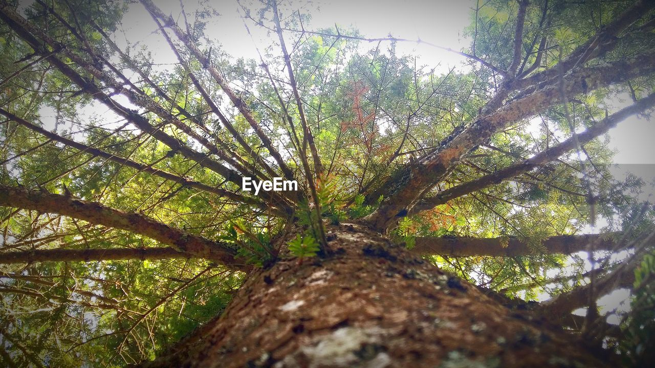 tree, nature, growth, tree trunk, tranquility, low angle view, beauty in nature, environment, forest, no people, branch, day, outdoors, sky