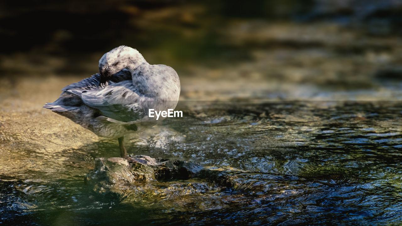 Close-up of bird preening on water