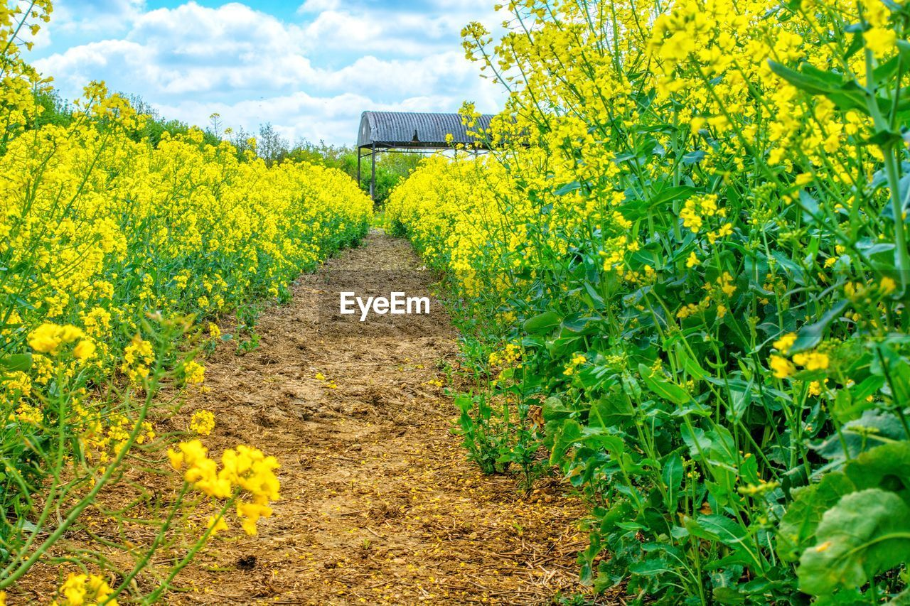growth, yellow, plant, flower, flowering plant, land, agriculture, field, rural scene, landscape, beauty in nature, nature, farm, crop, oilseed rape, day, environment, freshness, scenics - nature, the way forward, no people, outdoors, plantation, flowerbed